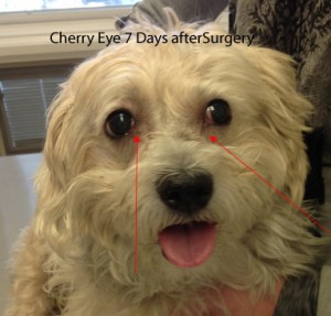 Chronic-Cherry-7-days-PO-Surgery-6493-2-300x287